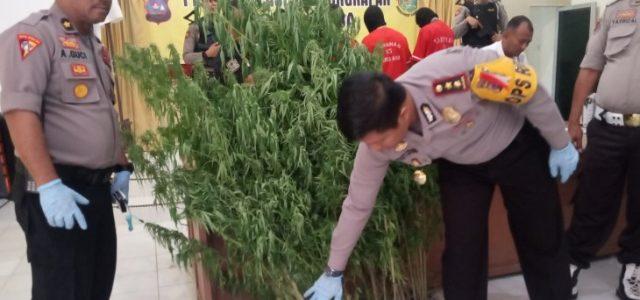 Dapat Bibit dari Aceh, Petani Tanam Ganja, Mau Panen Tertangkap Polisi